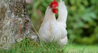 Леггорн: порода кур высокой яйценоскости