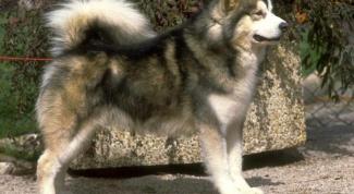 Какую собаку завести для охоты на кабана