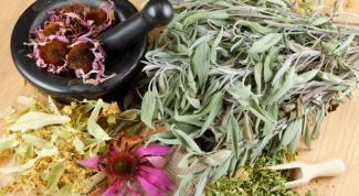 Трава эхинацея: полезные свойства и целебные рецепты