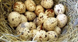 Перепелиные яйца: лечебные свойства