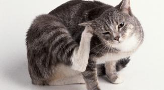 Подкожный клещ у кошки: как помочь домашнему питомцу