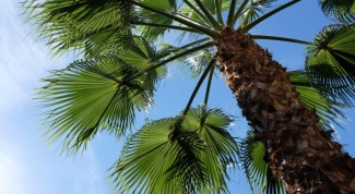 Какие напитки делают из сока пальм