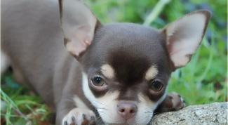 Уход за короткошерстными собаками