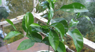 Выращивание лимонного дерева в домашних условиях