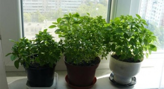 How to grow mint on the window sill