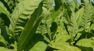 Как приготовить настойку табака для цветов