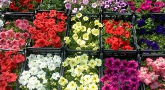 Когда высаживать рассаду цветов для открытого грунта