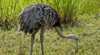 Чем питается южноамериканский страус