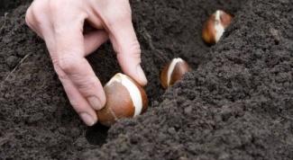 Когда высаживать тюльпаны весной