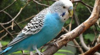 Как лечить больного попугайчика