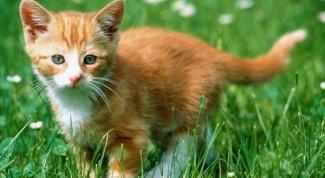 Когда делать первые прививки котенку