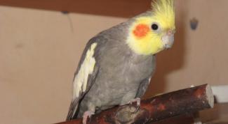 Как определить болезнь у волнистого попугая