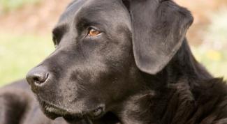 Как лечить стафилококк у собаки