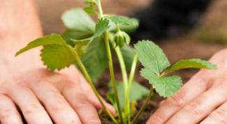 Как выращивать рассаду клубники