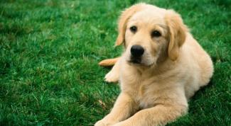 Как лечить мастопатию у собак