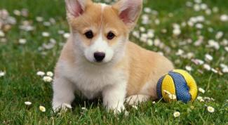 Как лечить инфаркт у собаки