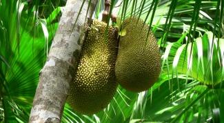 Плоды хлебного дерева - что это?