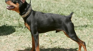 How to care for dwarf Pinscher