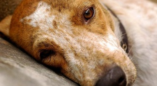 Как лечить мокнущий дерматит у собаки