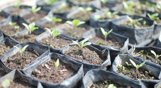 How to plant eggplant seedlings in the ground