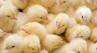 Как лечить диарею у цыплят