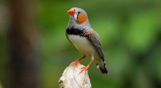 Какие виды декоративных домашних птиц самые неприхотливые