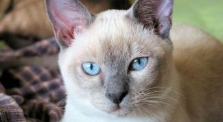 Тонкинская кошка: особенности породы