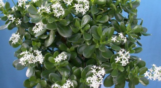 What are the curative effect jade tree