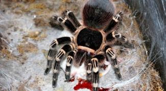Виды пауков-птицеедов: учим животный мир