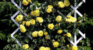 How to cover a climbing rose