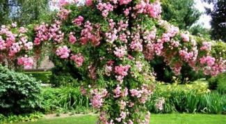 Как подвязывать плетистые розы