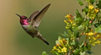 Какая птица поет хвостом