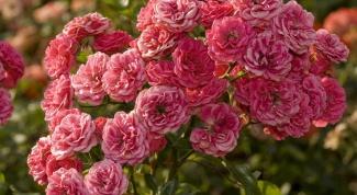 Как вырастить кустовую розу