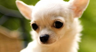 Какие собаки относятся к карликовым