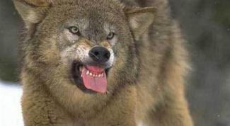 Как спастись от волка