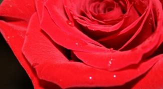 Как помочь розам дольше простоять
