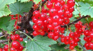 How to plant red currants