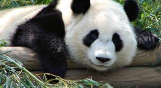 Почему одним из символов Китая является панда