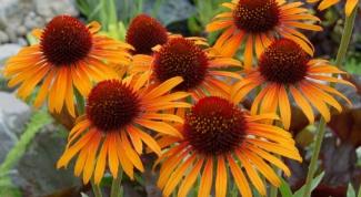 Как применяют эхинацею в декоративном садоводстве
