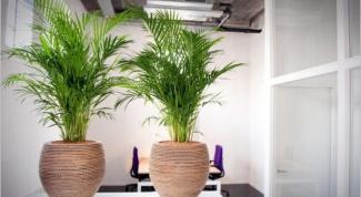 Как удобрять комнатную пальму