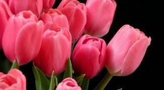 Как посадить тюльпаны дома