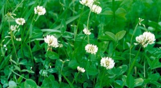 How to use the clover as a lawn