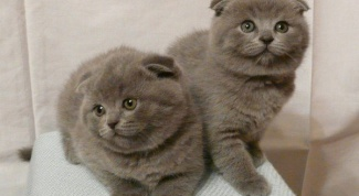 Caring for a Scottish fold kitten: what you need to know