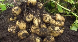 Все о картофеле сорта