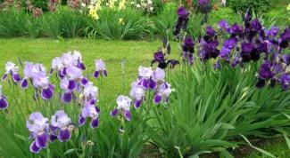 Как ухаживать за ирисами после цветения