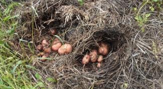 Как вырастить картофель в соломе или сене
