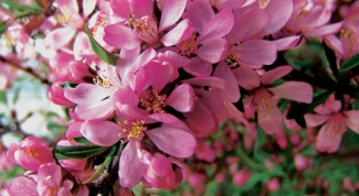 Almond Pink foam: planting and care