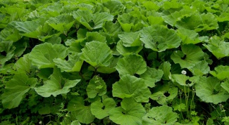 How to cure burdock