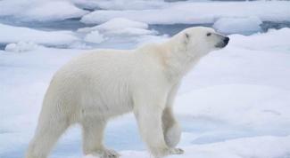 Что едят полярные медведи