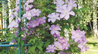 How to make garden support for clematis with their hands